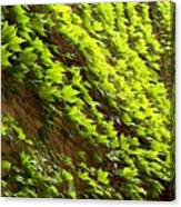 Ivy League-ivy Lines Canvas Print