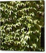 Ivy Sunlight Canvas Print