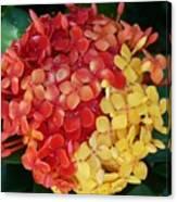 Ixora Flower Mix Canvas Print