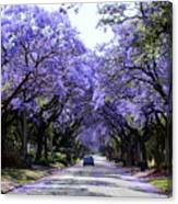 Jacarandas In Pretoria Canvas Print