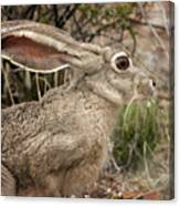 Jack Rabbit Portrait Canvas Print