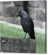 Jackdaw - Stare Canvas Print