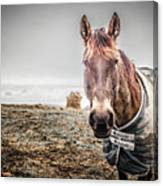 Jacketed Horse Canvas Print