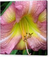 Jacqueline's Garden - Lily Glistening Thrice Canvas Print