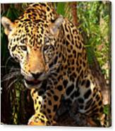 Jaguar Adolescent Canvas Print