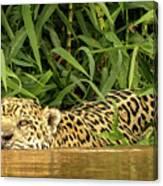 Jaguar Approaches Cayman Canvas Print