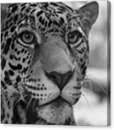 Jaguar In Black And White Canvas Print