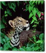 Jaguar Panthera Onca Peeking Canvas Print
