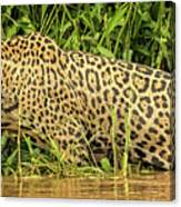 Jaguar Prowls The River's Edge Canvas Print