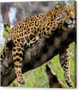 Jaguar Relaxation Canvas Print