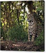 Jaguar Sitting In Trees In Dappled Sunlight Canvas Print