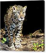 Jaguar Stare Canvas Print