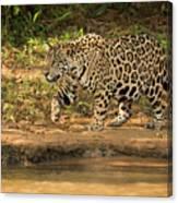 Jaguar Walking Beside River In Dappled Sunlight Canvas Print