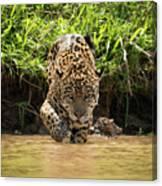 Jaguar Walking Through Muddy Shallows Towards Camera Canvas Print