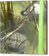 Jamaican Turtles Canvas Print