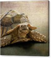 Jamal The Tortoise Canvas Print