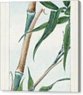 Japan: Bamboo, C1870s Canvas Print