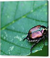 Japanese Beetle Canvas Print