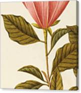 Japanese Bigleaf Magnolia Canvas Print