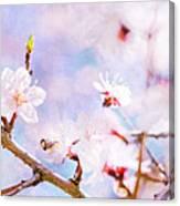 Japanese Cherry - Sakura In Bloom Canvas Print