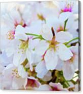 Japanese Cherry Tree Blossoms 2 Canvas Print