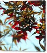 Japanese Maple 1592 Canvas Print