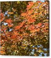 Japanese Maple Beauty Canvas Print