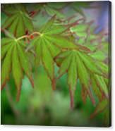 Japanese Maple Foliage Canvas Print