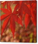 Japanese Maple In Afternoon Canvas Print