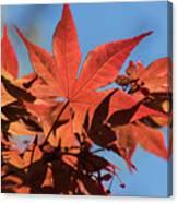 Japanese Maple In Sunlight Canvas Print