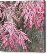 Japanese Maple In The Rain Canvas Print