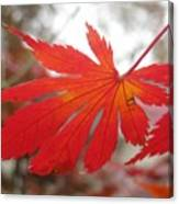 Japanese Maple Leaf 1 Canvas Print