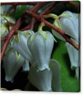 Japanese Pieris 2011-4 Canvas Print