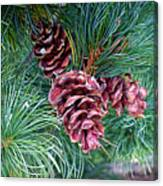 Japanese White Pine Pinecones Canvas Print