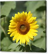 Jarrettsville Sunflowers - The Star Of The Show Canvas Print