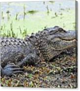 Jarvis Creek Gator Canvas Print