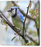 Jay In June Canvas Print