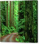 Jedediah Smith Redwoods                            Canvas Print