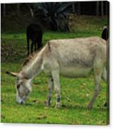 Jerusalem Donkey Grazing In A Field Canvas Print
