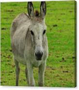 Jerusalem Donkey On A Farm Canvas Print