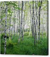 Jesup Path Birches Canvas Print