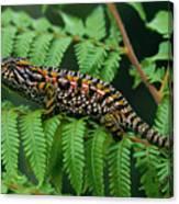 Jeweled Chameleon Furcifer Lateralis Canvas Print