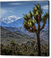 Joshua Tree In Joshua Park National Park With The Little San Bernardino Mountains In The Background Canvas Print