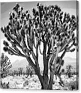 Joshua Trees Bw Canvas Print