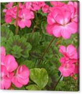 Joyful Geranium  Canvas Print