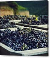 Juicy Grapes Of Autumn. Rotwein Wanderweg Canvas Print
