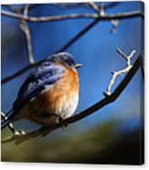 Juicy Male Eastern Bluebird Canvas Print