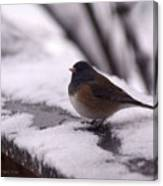 Junco Canvas Print