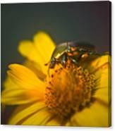June Beetle Exploring Canvas Print