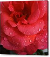 June  Rose  Canvas Print